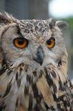 Eagle Owl Stock Image