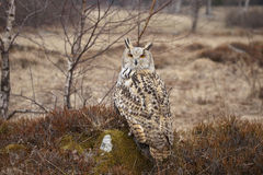 Eagle owl. Siberian eagle owl sitting on the stone Stock Images