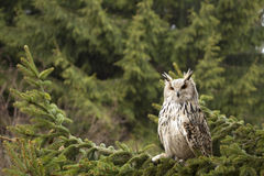 Eagle owl. Siberian eagle owl sitting on the pine tree. Rainy day Royalty Free Stock Photo