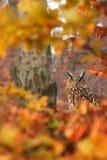 Eagle Owl. Eurasian Eagle Owl in the autumn's forest Stock Photo