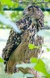 Eagle owl 2 Stock Photos