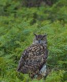 Eagle Owl. A female European Eagle Owl perched amongst undergrowth stock image