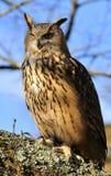 Eagle Owl. Euroasian eagle owl in a tree Stock Photography
