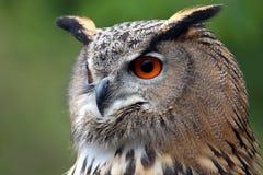 Eagle Owl stock photography