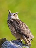 Eagle Owl. Royalty Free Stock Images