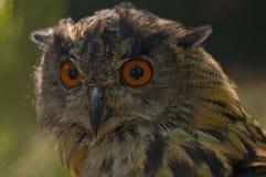 Eagle owl. Portrait of an eagle owl Stock Image