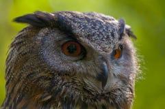 Eagle owl. Portrait of an eagle owl Stock Photos