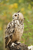 Eagle Owl. Sitting on a stump Royalty Free Stock Photo