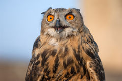 Eagle Owl. European eagle owl close up in Crimea mountains, Ukraine royalty free stock photo