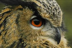 Eagle owl 3 Royalty Free Stock Photography