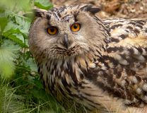 Eagle Owl. (bubo-bubo) shot in a wild Royalty Free Stock Images