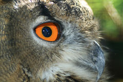 Eagle-owl Stock Image