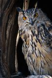 Eagle-owl Stock Photos