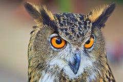 Eagle Owl Stockfotos