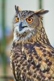 Eagle Owl Lizenzfreie Stockbilder