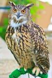 Eagle Owl Stockbilder