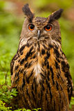 Eagle Owl stock foto