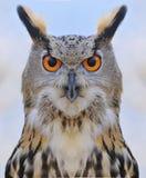 Eagle Owl. immagini stock