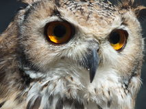 Eagle Owl1 Fotografia Royalty Free