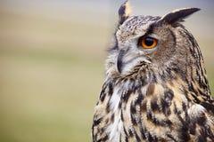 Eagle owl Royalty Free Stock Photos