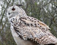 Eagle Owl. A huge Eagle Owl is sitting on a tree royalty free stock images