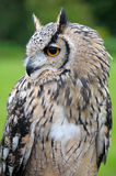 Eagle Owl. Portrait image of a Eagle Owl with feathers ears up Royalty Free Stock Images