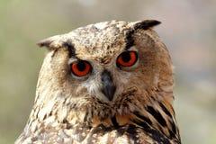 Eagle Owl. Close up of an Eagle Owl (Bubo bubo stock images