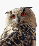 Eagle Owl. Close up of an Eagle Owl (Bubo bubo royalty free stock photo