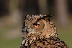 Eagle Owl. Close up of an Eagle Owl (Bubo bubo stock image