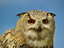 Eagle owl. In the UK Stock Photos