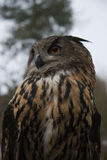 Eagle owl. Close up of an Eagle Owl stock images