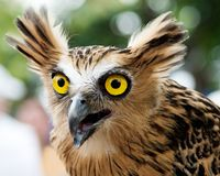 Eagle owl. Portrait of an Eagle owl looking surprised Royalty Free Stock Image