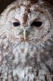 Eagle owl. A portrait of an eagle owl Stock Image