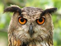 Eagle owl stock photos