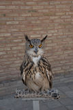Eagle owl. Against the background of a brick wall Stock Photo
