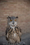 Eagle owl. Against the background of a brick wall Stock Images
