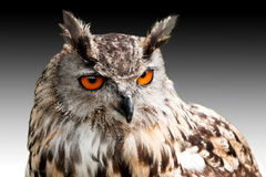 Eagle owl against dark sky Royalty Free Stock Photos