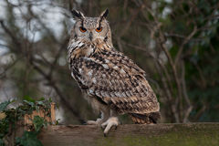 Eagle owl. An alert Eurasian eagle owl, Bubo bubo, perched on a wooden fence staring towards the camera Royalty Free Stock Photos