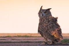 Eagle-owl (back view) Stock Photos