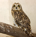 Eagle-owl Stock Photo