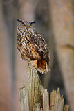 Eagle Owl, big bird rare sitting on the stump in dark forest, animal in the nature habitat, Norway Royalty Free Stock Images