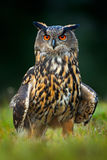 Eagle Owl, big nocturnal bird in the forest, Norway Royalty Free Stock Photos
