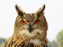 Eagle owl bird Royalty Free Stock Photo