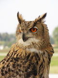 Eagle owl bird Stock Images