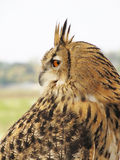 Eagle owl bird Royalty Free Stock Image