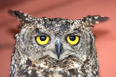 Eagle Owl Bird Royalty Free Stock Images