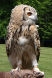 Eagle Owl Bird of prey Royalty Free Stock Photos