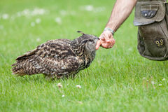 Eagle owl bird of prey aparently attacking human. Biting finger Royalty Free Stock Photo