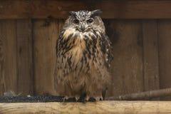 Eagle owl bird of prey. Eagle owl feathered wild bird of prey - natures predator, raptor stock photography