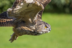 Eagle owl bird of prey hunting in flight. Eagle-owl Bubo bubo Stock Images